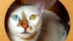 Boy, the cat with different eyes and the most original fur in the world
