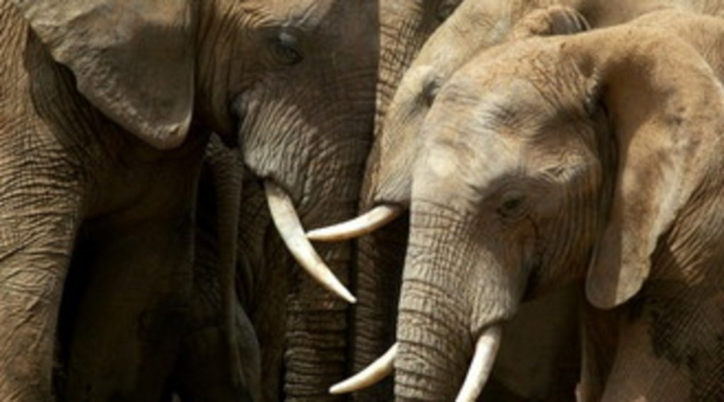 South Africa, a poacher trampled to death by a herd of elephants