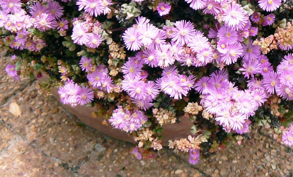 A streak of gorgeous pink flowers with a hardwearing succulent perfect for gardens and porches