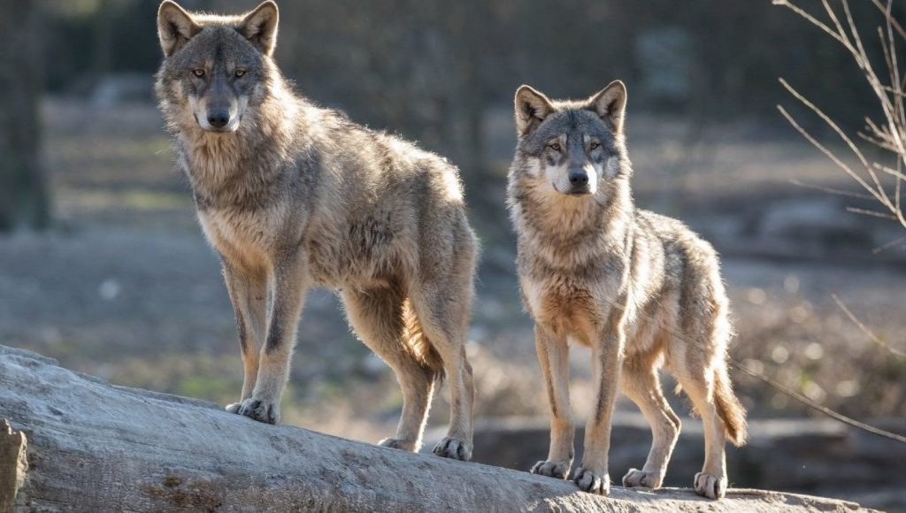 Studio Yusa, so wolves reduce accidents