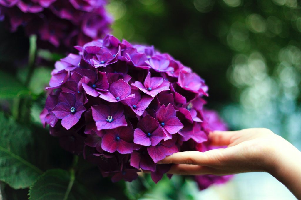 Florist's trick to make the wilted hydrangea beautiful and luxurious