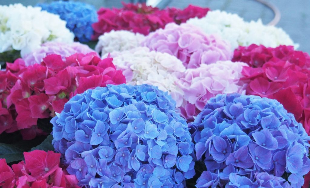 For hydrangeas and geraniums that are always healthy, beautiful and bright, never underestimate this very vulgar act that many unknowingly mistake
