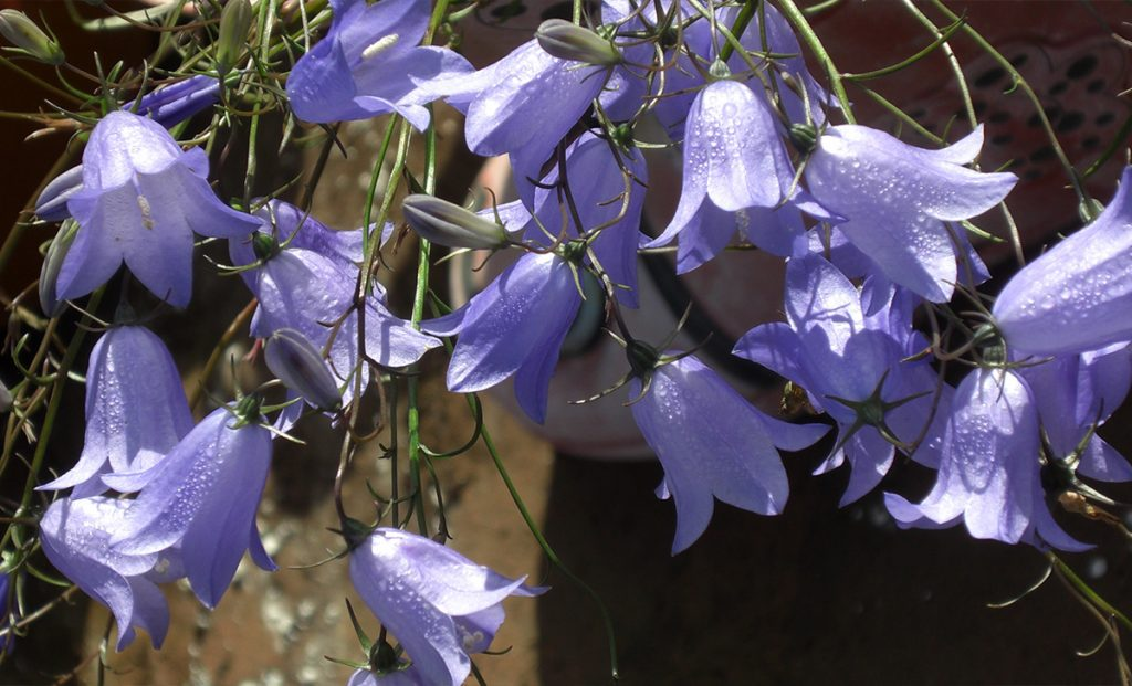 Here are the flowers to plant now for a beautiful blue window on August 15