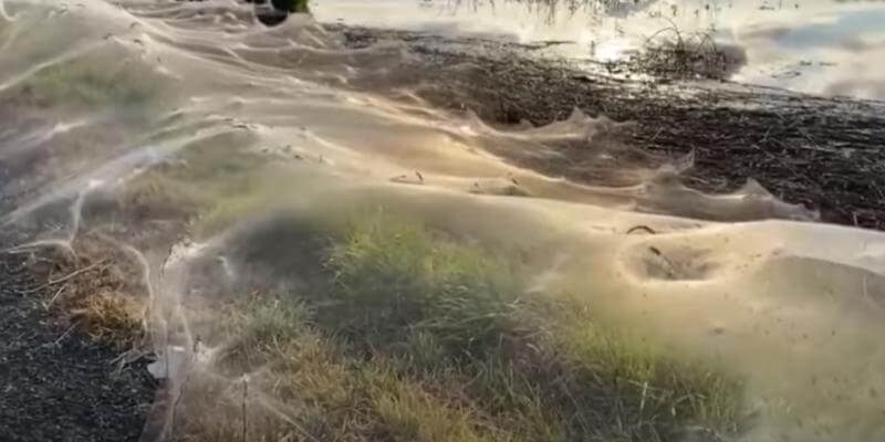 What do spiders invent to escape floods in Australia |  Blinks