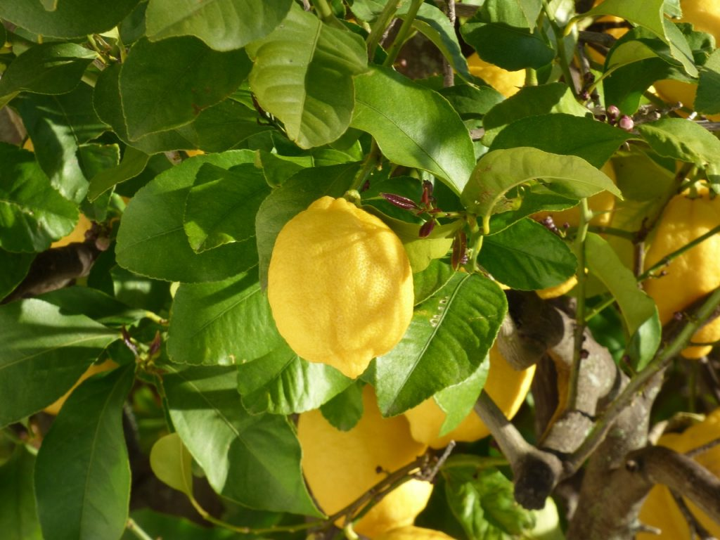 Summer pruning tricks for a lemon tree for great blooms