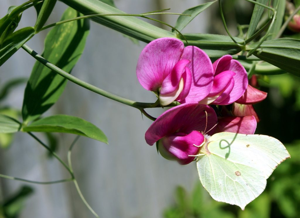 For colorful pergolas or balconies, a wonderful unknown climbing plant is enough
