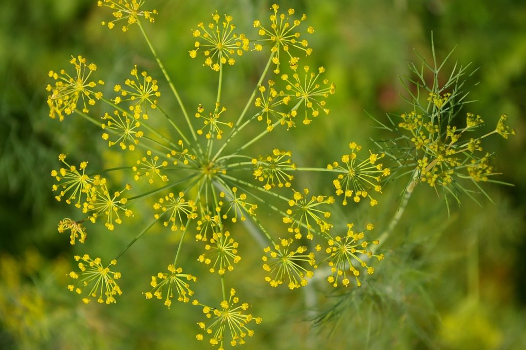 Not many know that this common, aromatic plant is an excellent natural antispasmodic
