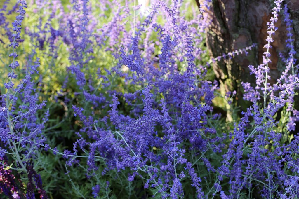 Here is an ornamental plant that looks like lavender, but smells like sage