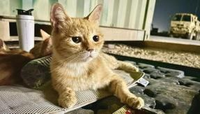 Soldiers adopt a family of cats in the Middle East: a solidarity contest to help them