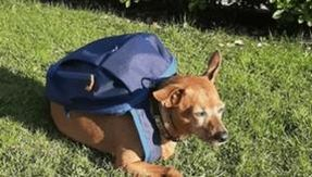 Goodbye Luigi, the postman dog who brought basic necessities to his family during lockdown