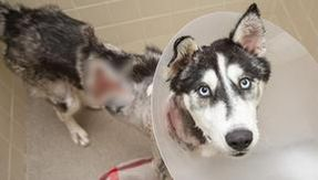 Miraculously healed Hera, the husky found on the street, badly burned